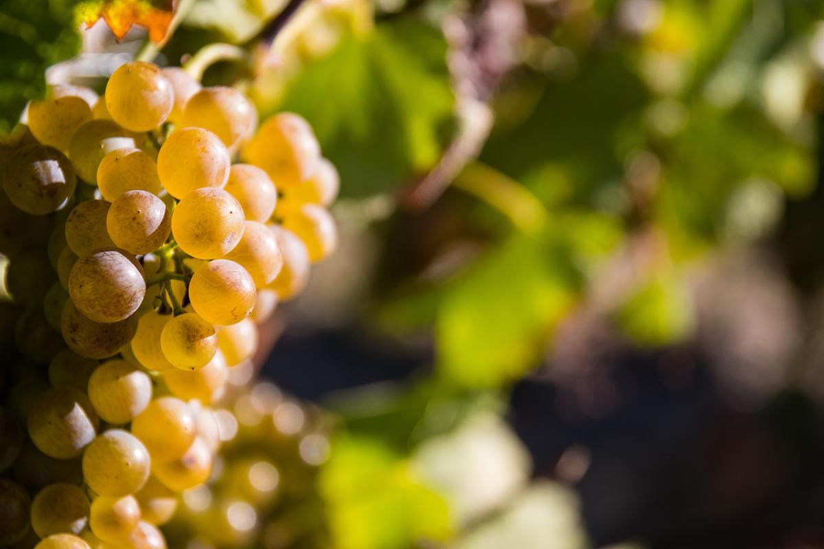 grappe raisin blanc